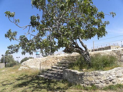 Fig Tree at Nevi Samuel