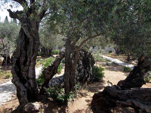 Garden of Gethsemane - Mount of Olives