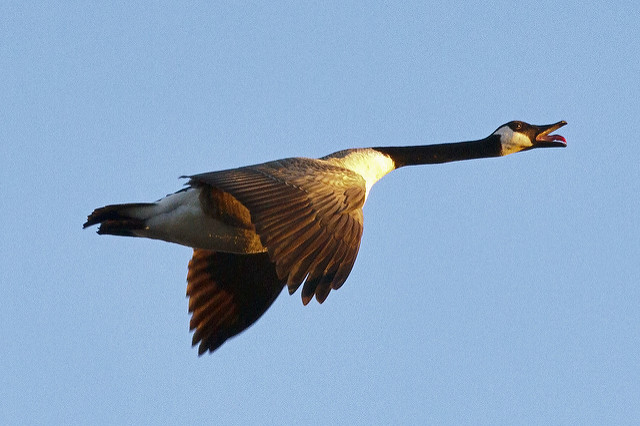 goose fly bird