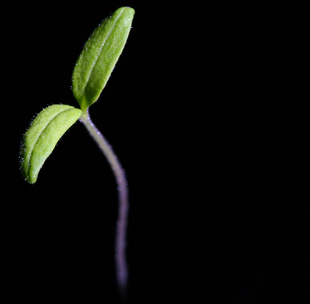 Seedling.IH.CC