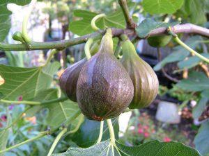 figs.Anthony Masi.cc